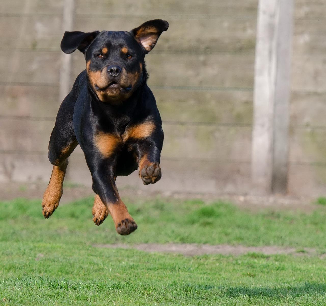 Rottweiler: aspetto carattere allevamento prezzi