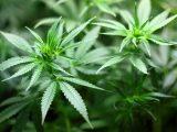 Cannabis in Italia, a che punto siamo rimasti?