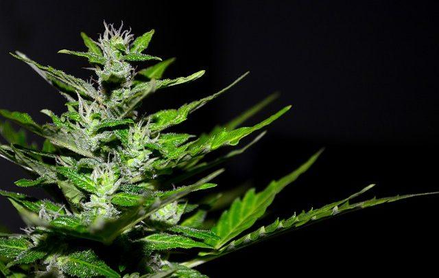 La guida su come far germinare i semi di cannabis