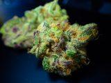 Cannabis e cannabinoidi, non solo THC e CBD